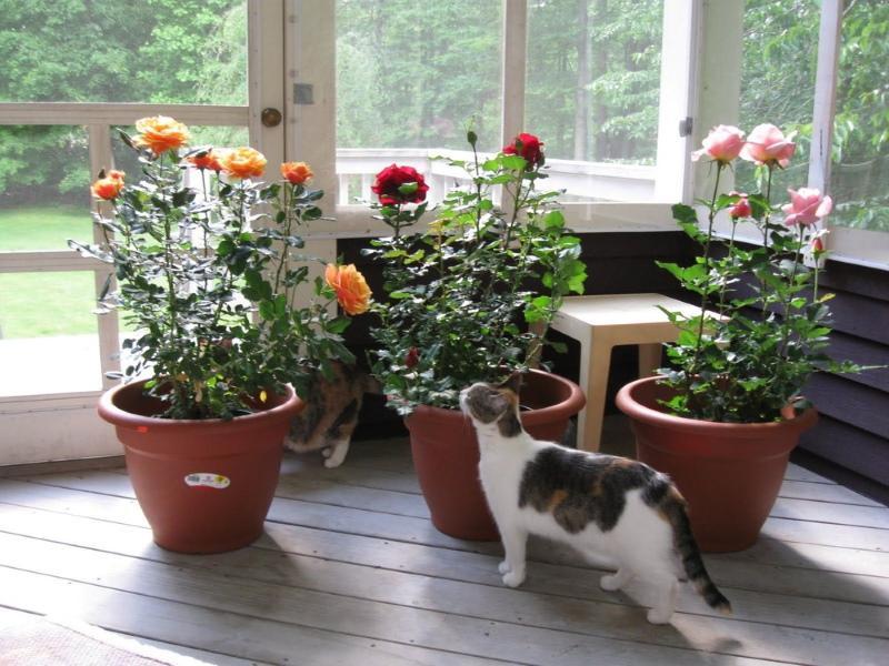 содержание комнатных роз