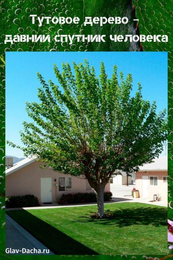 тутовое дерево