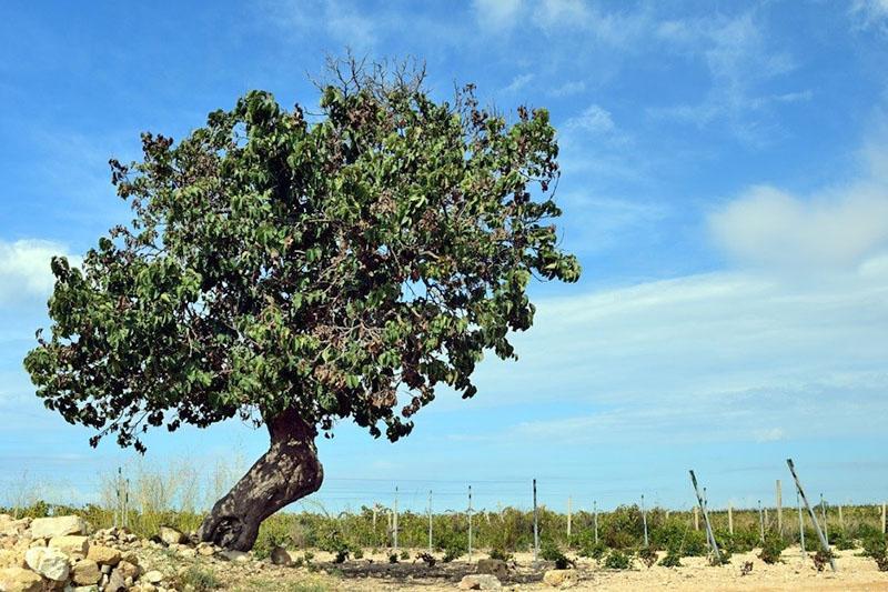 тутовое дерево на китайских просторах
