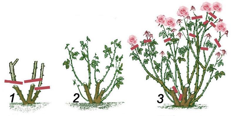 обрезка роз с момента посадки