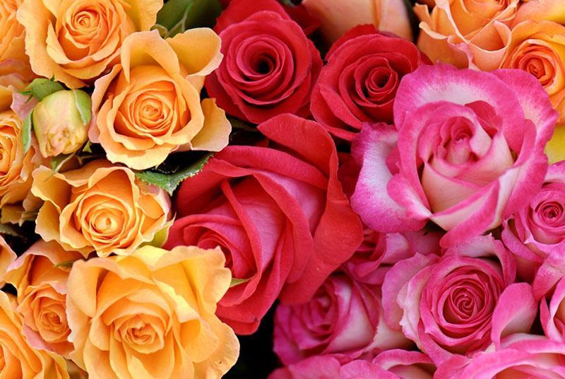 чудесные сорта чайных роз