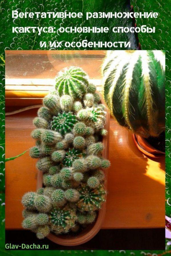 вегетативное размножение кактуса