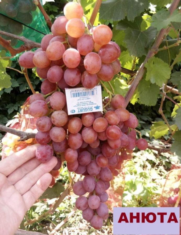 виноград анюта описание сорта