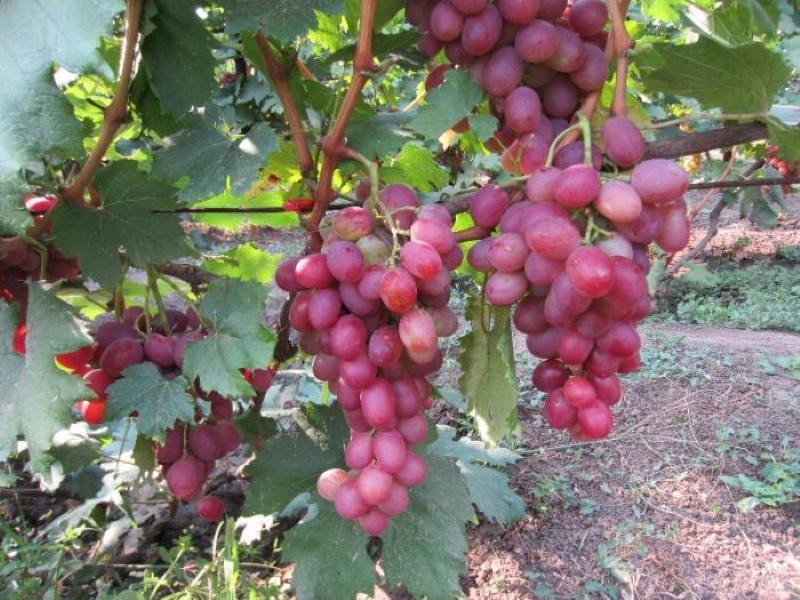 первый урожай винограда анюта