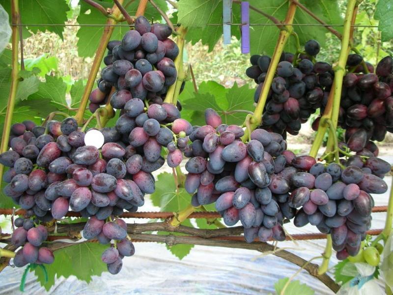 виноград красотка описание сорта фото