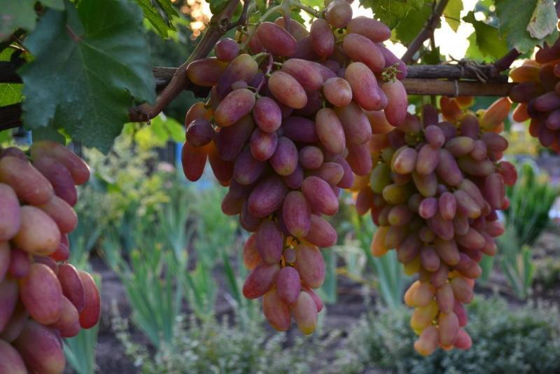 сорт винограда преображение фото и описание