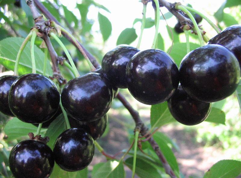 плоды вишни бессеи