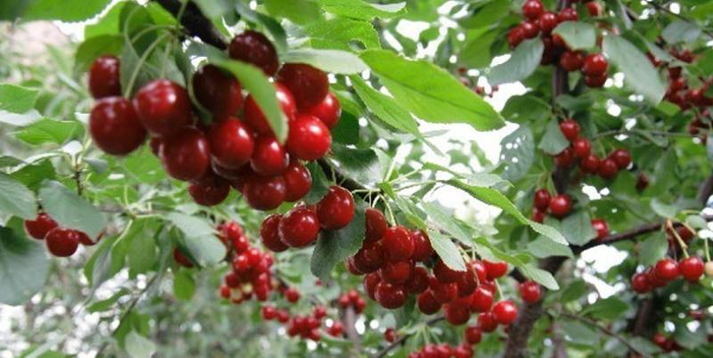 тургеневская вишня