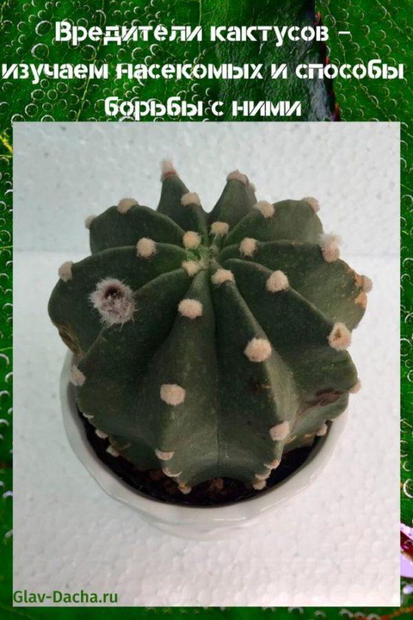 вредители кактусов