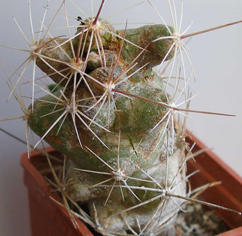 поражение кактусов вредителями