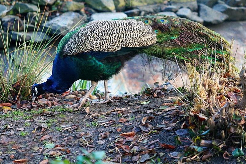 питание павлинов в дикой природе