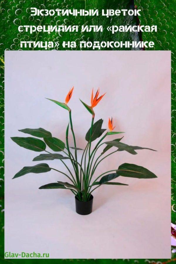 цветок стрецилия