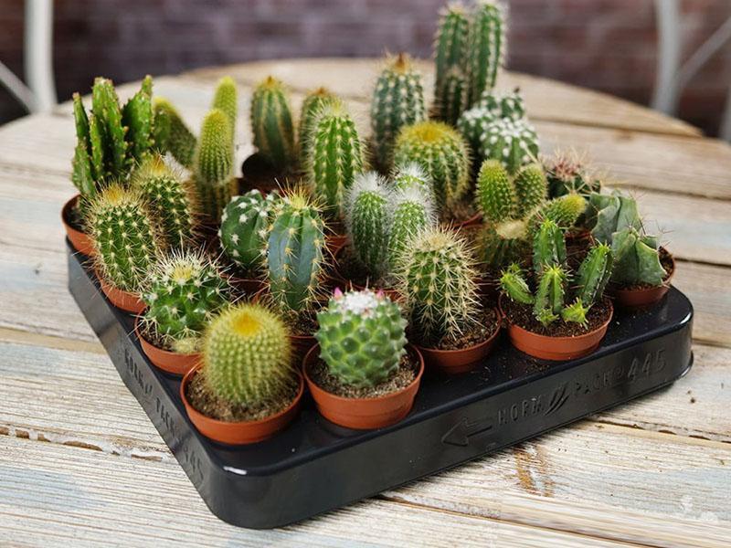 маленькие кактусы