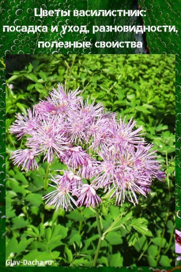 цветы василистник посадка и уход