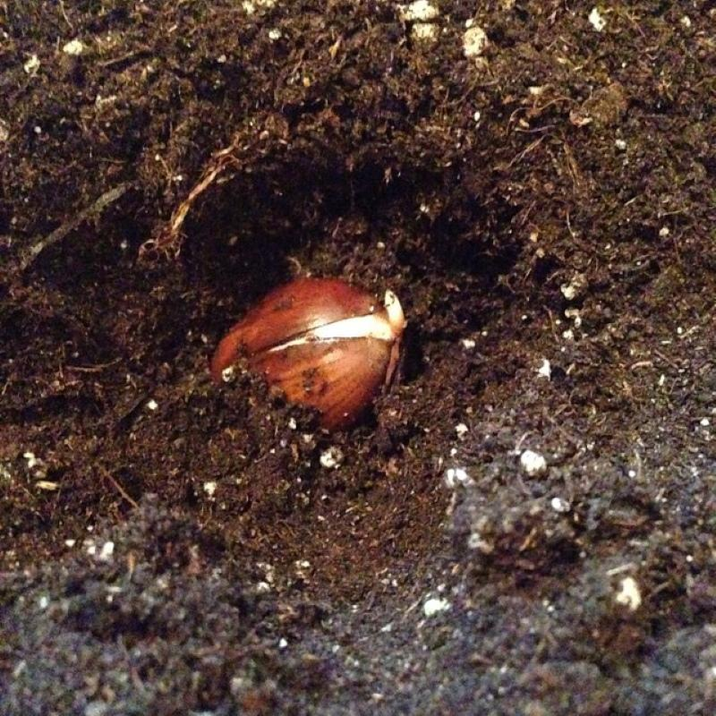 проращивание желудя в открытом грунте