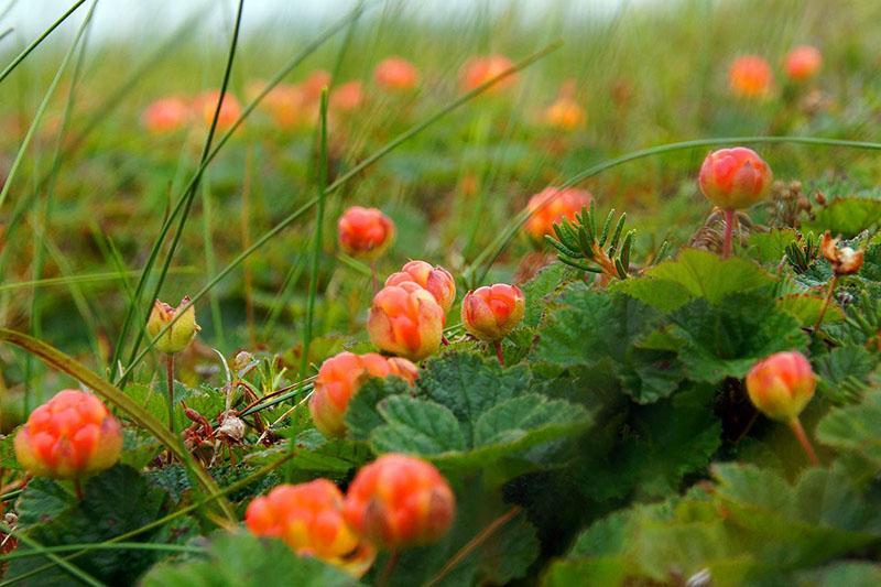 жительница торфяных болот морошка