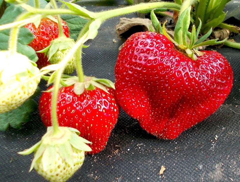 плотная сочная ягода