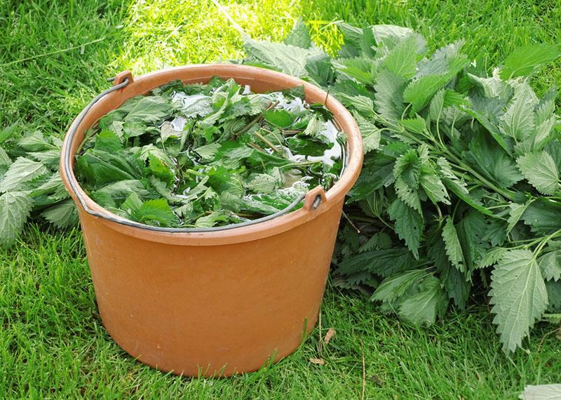 Чем полезна крапива, как удобрение для растений