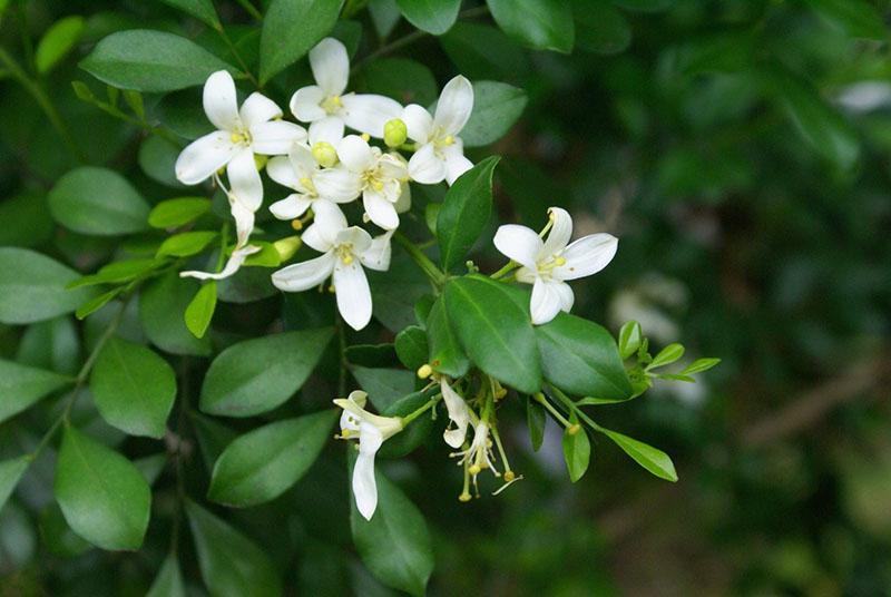 экзотическое растение семейства тутовых