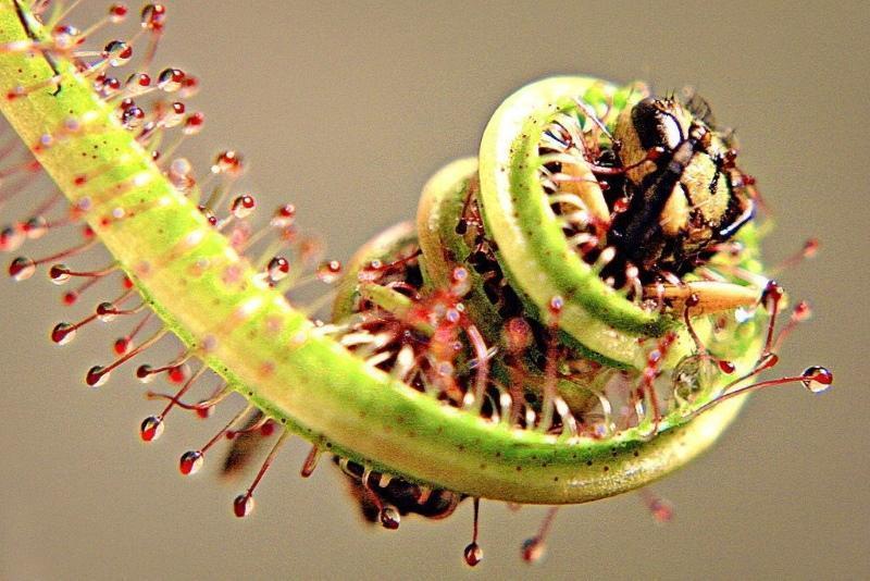 растения хищники фото и названия