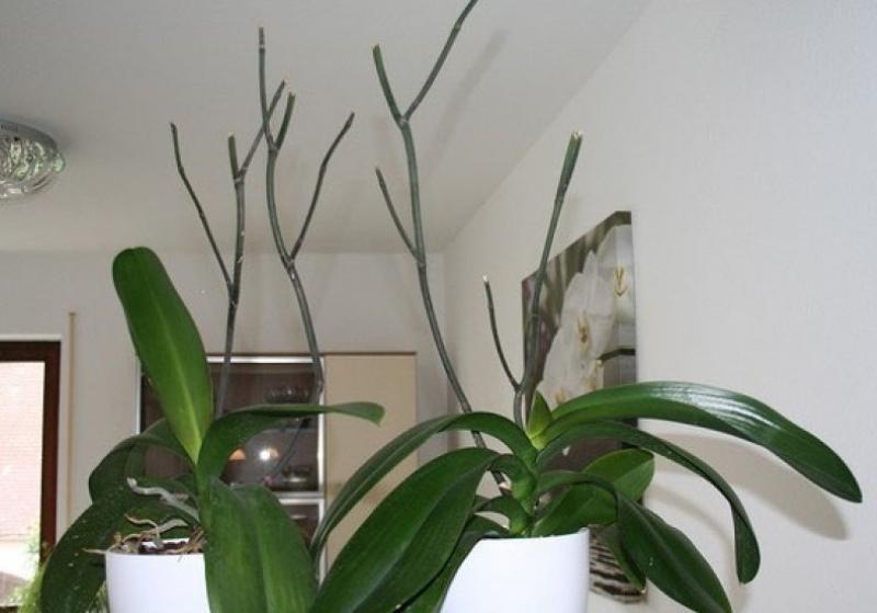 почему не цветут орхидеи