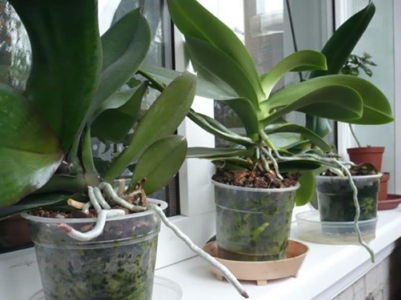 как заставить орхидеюю цвести