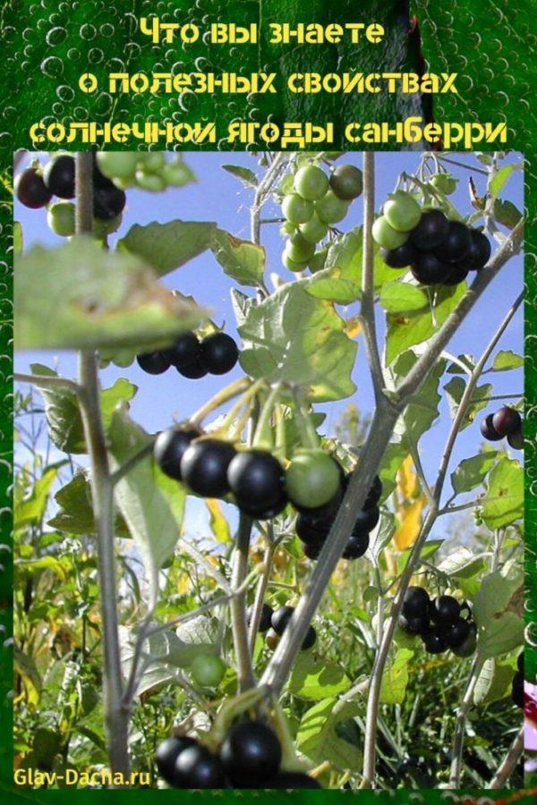полезные свойства солнечной ягоды санберри
