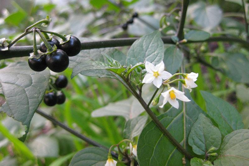 цветет санберри