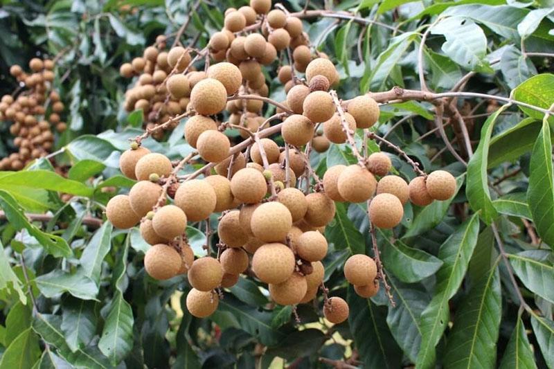грозди лонгана