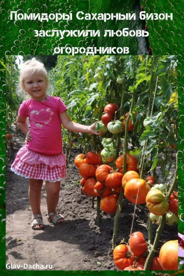 помидоры сахарный бизон