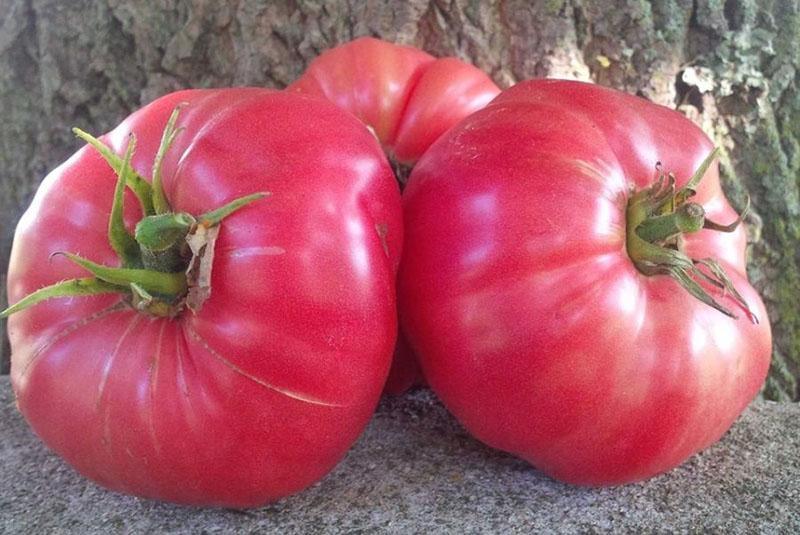 крупные сочные плоды томата сахарный бизон
