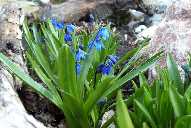 Весенний цветок пролеска или сцилла- правила посадки и выращивания в саду
