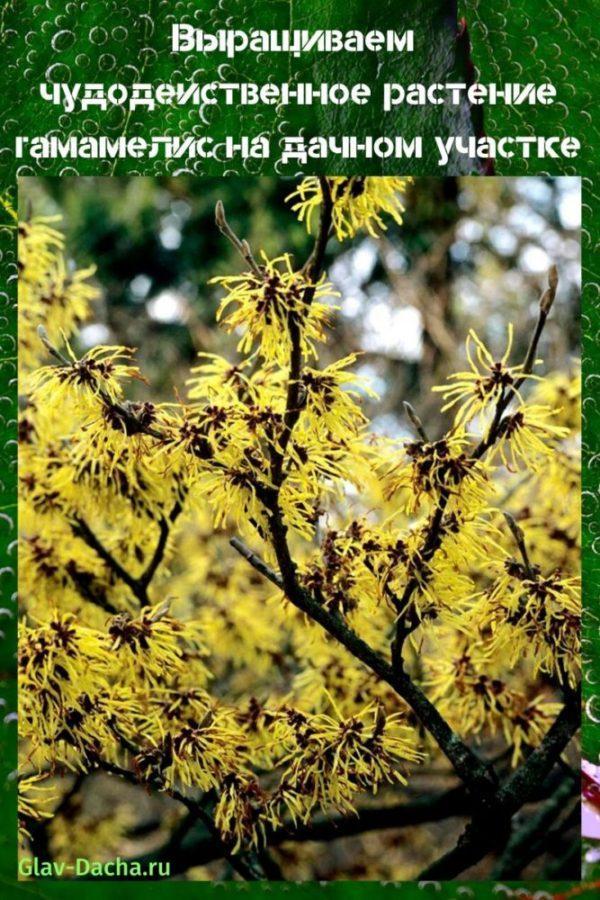 растение гамамелис