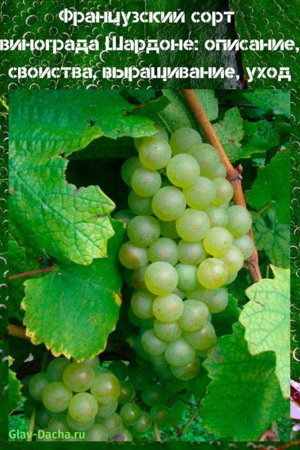 французский сорт винограда шардоне