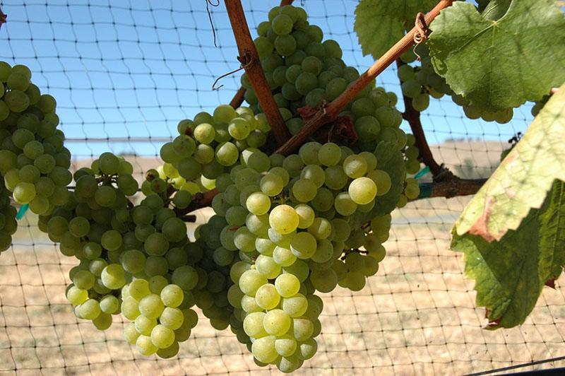 технический сорт винограда шардоне