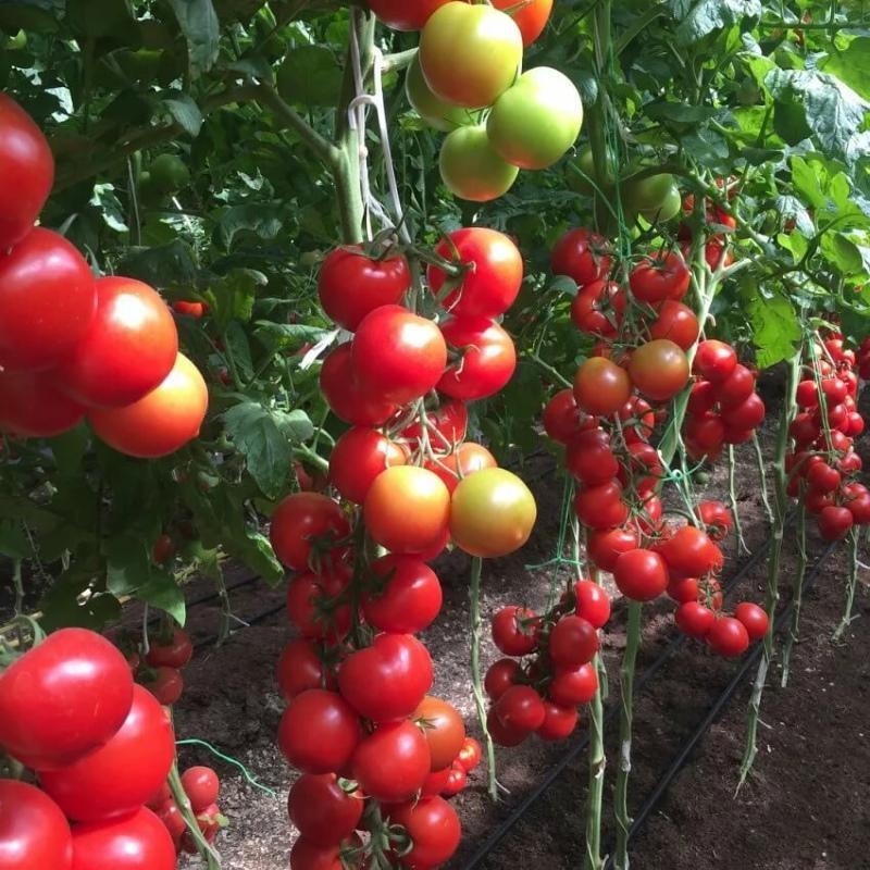 томат благовест характеристика и описание сорта