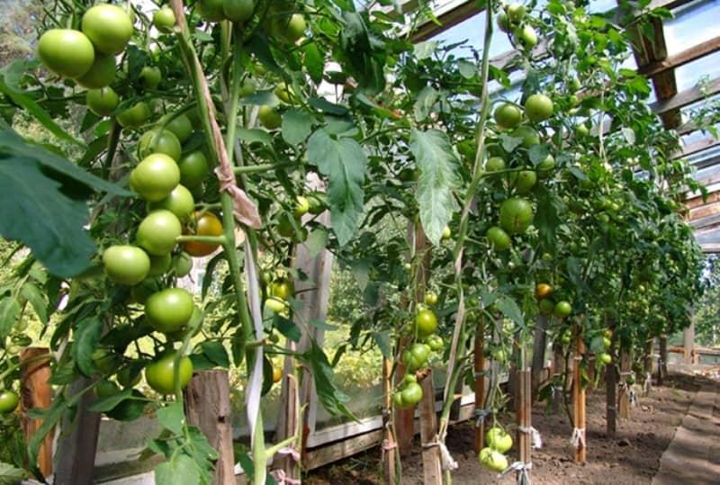 сорт помидоров благовест