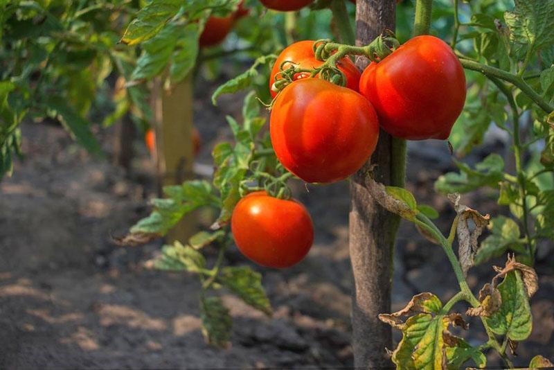 крупноплодный томат мишка косолапый