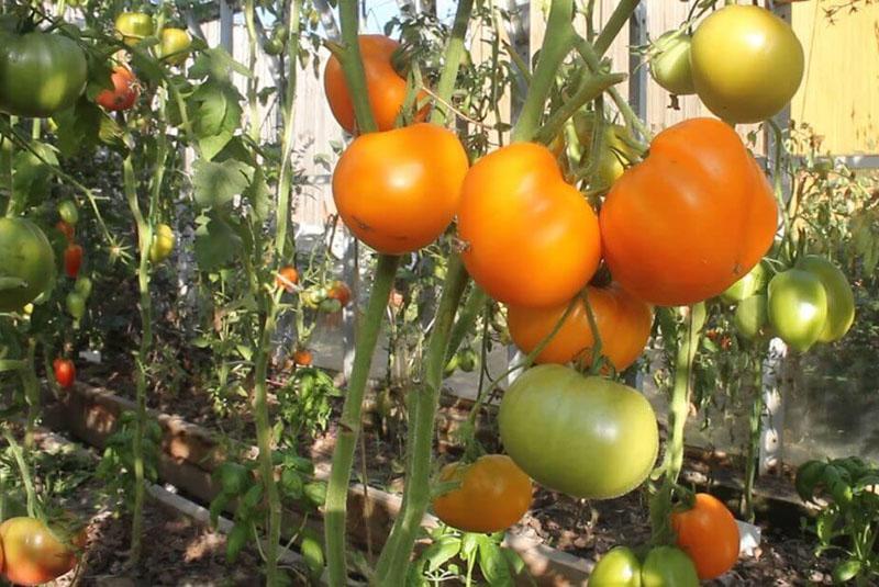 желтый томат мишка косолапый