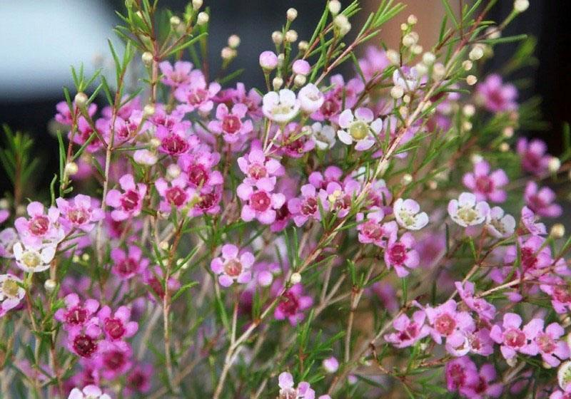 пышное цветение хамелациума