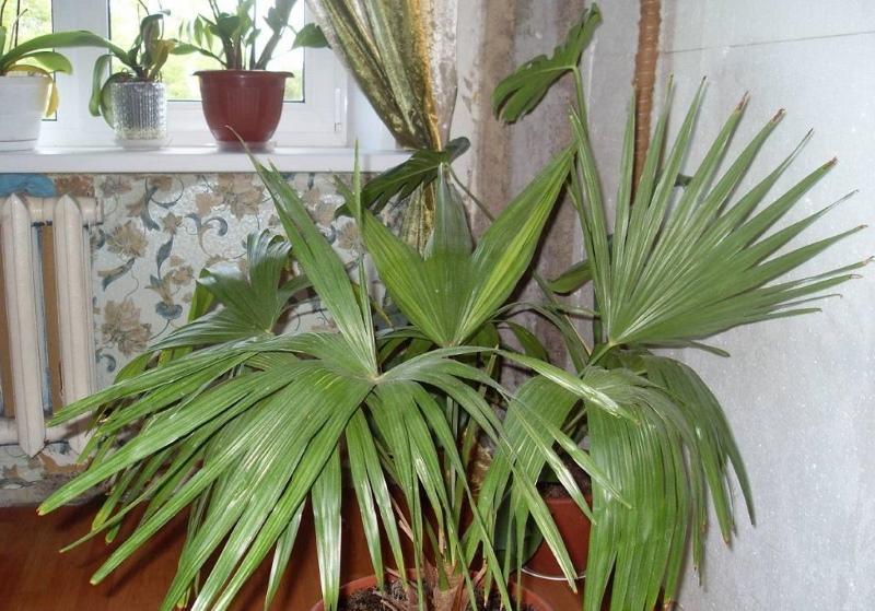 температура и освещение для пальм
