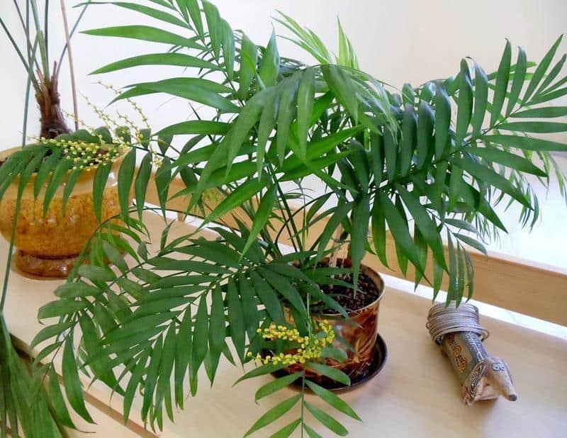 как уход за пальмами