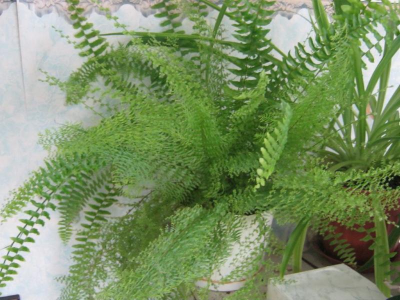 особенности выращивания папоротников