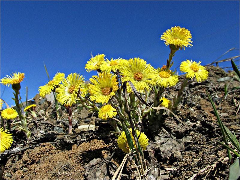 латинское название цветка «Tussilago»
