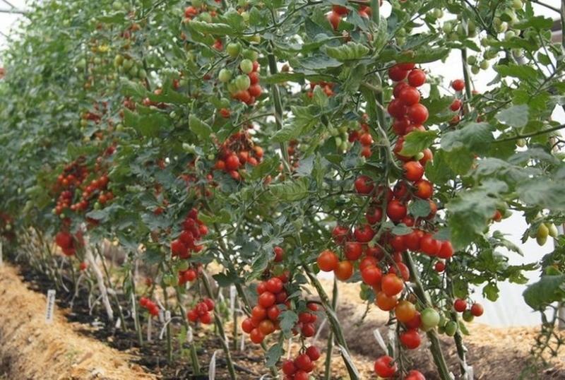 индетерминантный сорт помидор что это