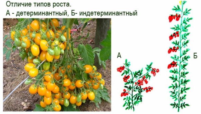 чем отличаются индетерминантные помидоры