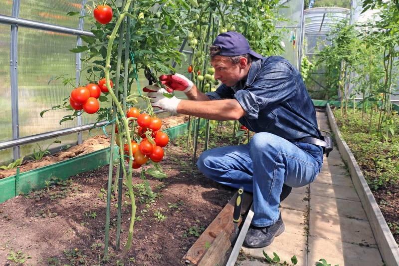 преимущества индетерминантных томатов