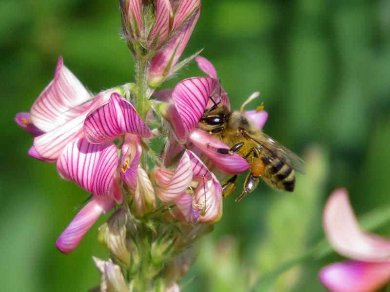 сбор нектара пчелами