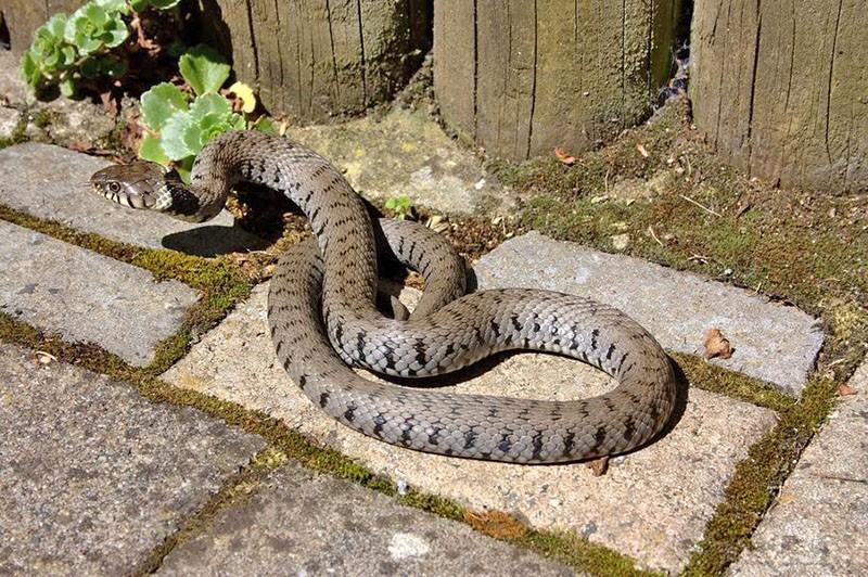 змеи на дачном участке