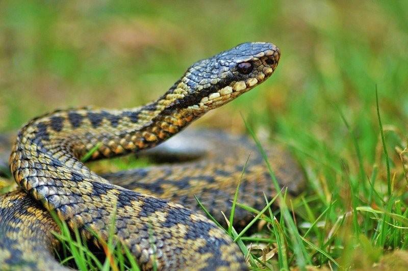 змея среди травы